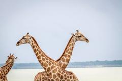 2 жирафа пересекая их шею Стоковые Изображения RF