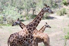 3 жирафа пересекая Стоковые Изображения RF