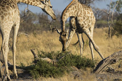 2 жирафа подавая в Ботсване Стоковые Фотографии RF