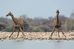 2 жирафа подготавливая выпивать Стоковое Изображение