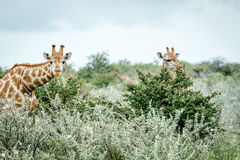 2 жирафа пряча в кустах Стоковая Фотография