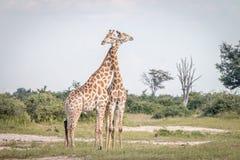 2 жирафа скрепляя в траве Стоковое Фото