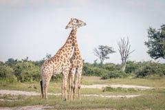 2 жирафа скрепляя в траве Стоковые Фото