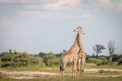 2 жирафа скрепляя в траве Стоковые Фотографии RF