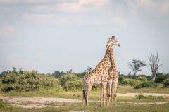 2 жирафа скрепляя в траве Стоковые Изображения RF