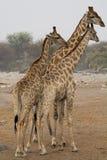 3 жирафа смотря правый Стоковое Изображение RF