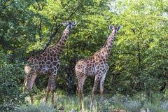 2 жирафа стоя внутреннее Kruger Nationalpark, Южная Африка Стоковые Фото