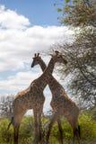 2 жирафа стоя в африканской саванне, Южной Африке Стоковые Фото