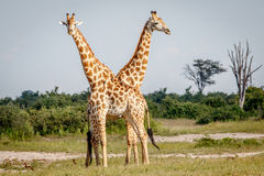 2 жирафа стоя в траве Стоковое Изображение