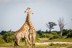 2 жирафа стоя в траве Стоковые Фото