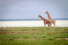 2 жирафа стоя в траве Стоковые Фотографии RF