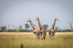 3 жирафа стоя в траве Стоковые Изображения