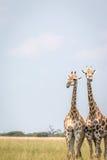 2 жирафа стоя в траве Стоковое Фото