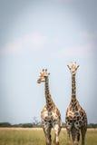 2 жирафа стоя в траве Стоковое Изображение RF