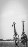 2 жирафа стоя в траве Стоковые Изображения RF