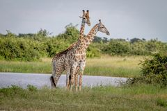2 жирафа стоя в траве Стоковая Фотография