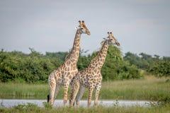2 жирафа стоя в траве Стоковые Изображения