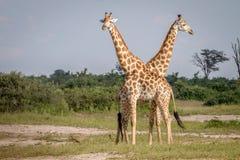 2 жирафа стоя в траве Стоковое фото RF