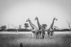3 жирафа стоя в черно-белом Стоковые Изображения