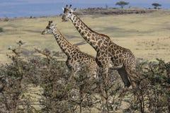2 жирафа стоя среди низких кустов на наклоне acaci Стоковые Фотографии RF