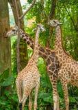 3 жирафа. Стоковые Фотографии RF