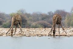 2 жирафа drining Стоковое Изображение