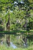 2 жирафа Masai в Selous Стоковые Фото