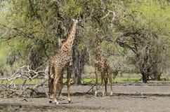 2 жирафа Masai подавая от дерева Стоковые Фотографии RF