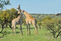 2 жирафа necking Стоковые Изображения RF