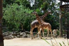 2 жирафа Rothschild на зоопарке Стоковое Изображение
