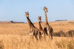 3 жирафов животного живой природы совместно Стоковое фото RF