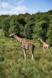 Жирафы бежать если поле на Giraffa Camelopardalis солнечного дня Стоковые Изображения