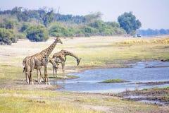 Жирафы выпивая от реки Стоковые Фото