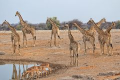 Жирафы высоты на национальном парке etosha Стоковые Изображения