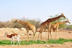 Жирафы в зоопарке ОАЭ. Стоковое Изображение RF