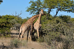 2 жирафа necking Стоковые Фотографии RF