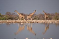 Жирафы в национальном парке Etosha Стоковое Фото