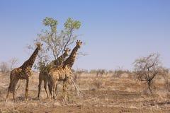 Жирафы в национальном парке Kruger, Южной Африке Стоковое Фото