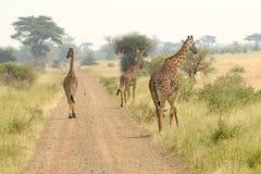 Жирафы вдоль дороги Стоковая Фотография