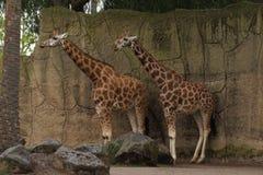 Жирафы в приложении стоковое изображение rf