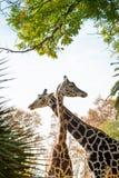 Жирафы в природе Стоковое Изображение