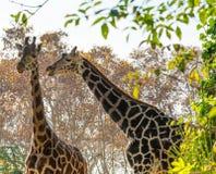 Жирафы в природе Стоковая Фотография RF