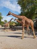 Жирафы в унисоне на солнечный день стоковые изображения