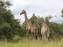Жирафы в Южной Африке Стоковая Фотография