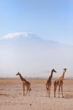 Жирафы в Amboseli Стоковые Фото