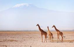 Жирафы в Amboseli Стоковое фото RF