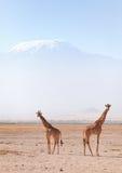 Жирафы в Amboseli Стоковая Фотография RF
