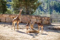 Жирафы, зоопарк Иерусалима библейский в Израиле Стоковая Фотография RF