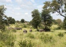 Жирафы и зебры в krugerpark Стоковые Фотографии RF