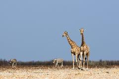 Жирафы и зебры Стоковые Изображения